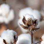 3 Resources for Sourcing Organic Cotton for Your Fashion Collection